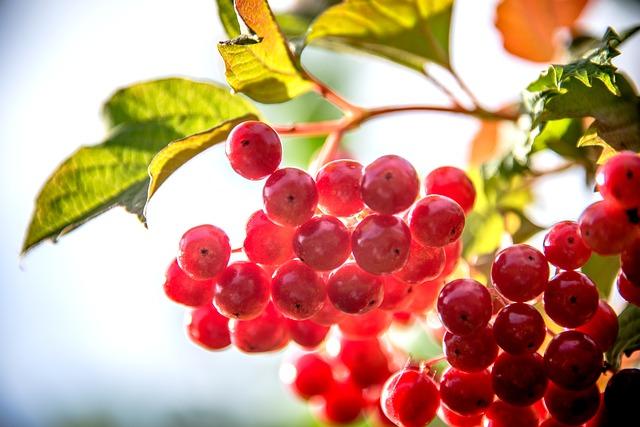 schizandra-berries